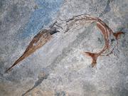 240 Millionen Jahre altes Fossil des urtümlichen Fisches Saurichtys curionii aus dem UNESCO Welterbe ... Bild: UZH
